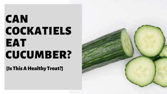 Can Cockatiels Eat Cucumber? [Is This A Healthy Treat?]