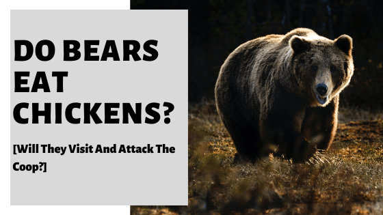 Do Bears Eat Chickens? [Will They Visit And Attack The Coop?]