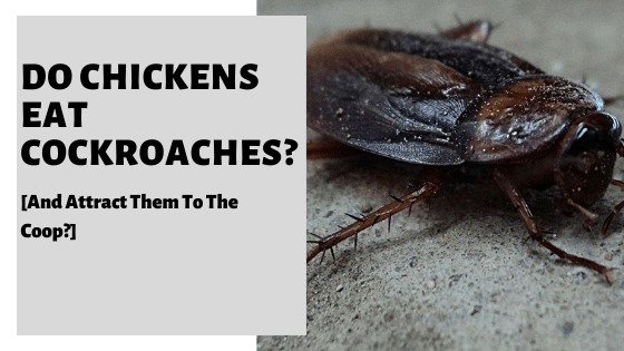 Do Chickens Eat Cockroaches? [And Attract Them To The Coop?]