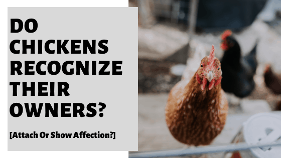 Do Chickens Recognize Their Owners? [Attach Or Show Affection?]