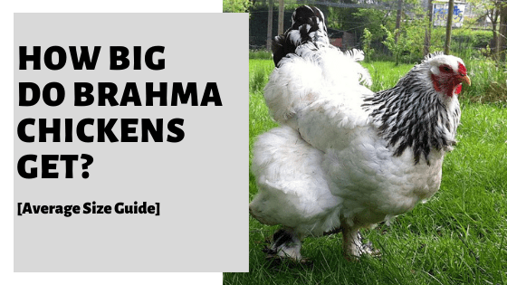 How Big Do Brahma Chickens Get? [Average Size Guide]