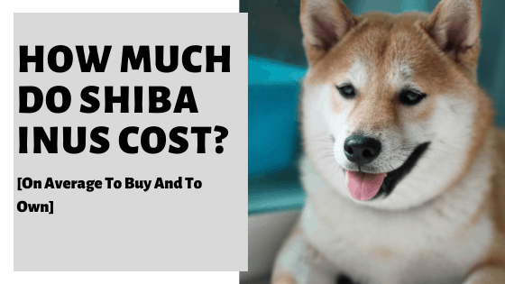 How Much Do Shiba Inus Cost? [On Average To Buy And To Own]