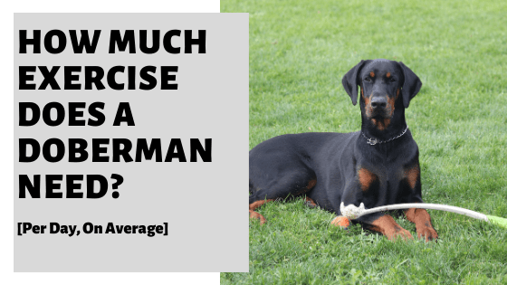 How Much Exercise Does A Doberman Need? [Per Day, On Average]