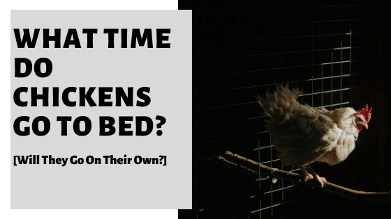 What Time Do Chickens Go To Bed? [Will They Go On Their Own?]