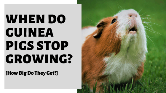 When Do Guinea Pigs Stop Growing? [How Big Do They Get?]