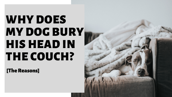 Why Does My Dog Bury His Head In The Couch? [The Reasons]