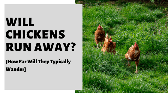Will Chickens Run Away? [How Far Will They Typically Wander]