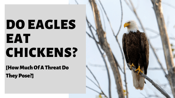 Do Eagles Eat Chickens? [How Much Of A Threat Do They Pose?]