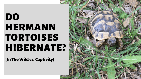 Do Hermann Tortoises Hibernate? [In The Wild vs. Captivity]