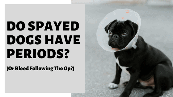Do Spayed Dogs Have Periods? [Or Bleed Following The Op?]