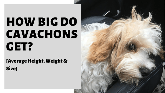 How Big Do Cavachons Get_ [Average Height, Weight & Size]