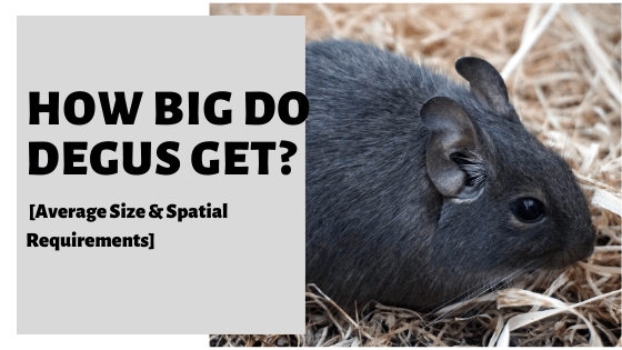 How Big Do Degus Get? [Average Size & Spatial Requirements]