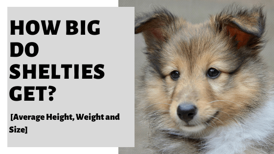 How Big Do Shelties Get? [Average Height, Weight and Size]