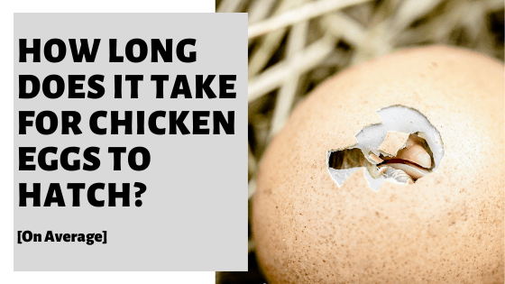 How Long Does It Take For Chicken Eggs To Hatch? [On Average]