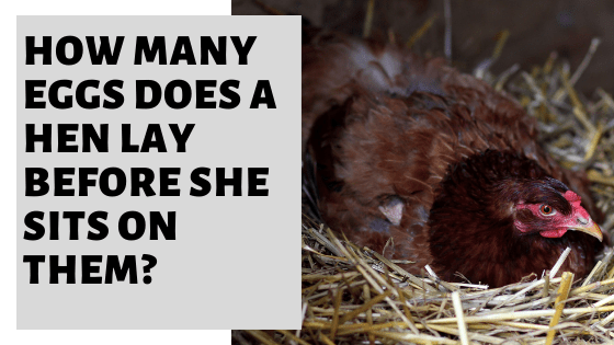 How Many Eggs Does A Hen Lay Before She Sits On Them?