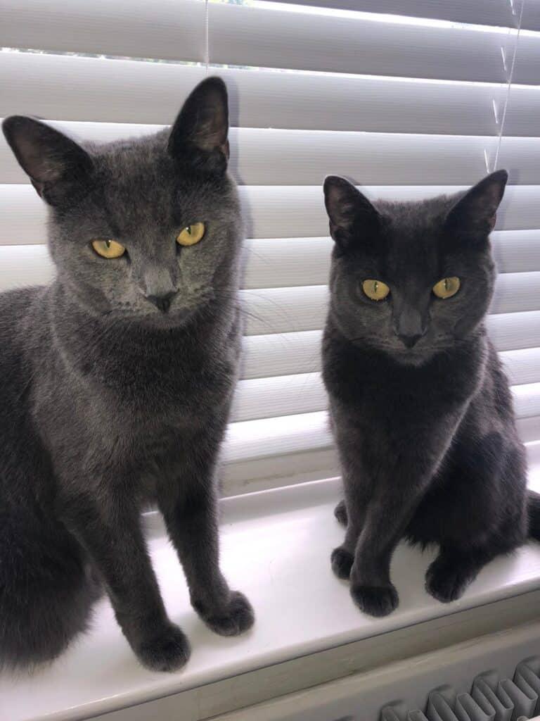 Katrina's Russian Blue Cats