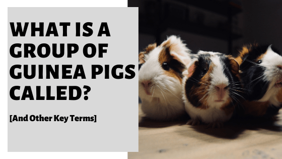 What Is A Group Of Guinea Pigs Called? [And Other Key Terms]