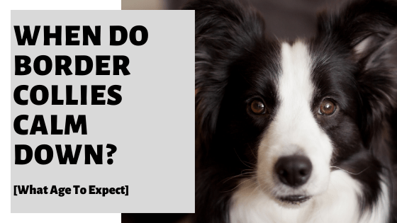 When Do Border Collies Calm Down? [What Age To Expect]