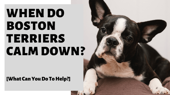 When Do Boston Terriers Calm Down? [What Can You Do To Help?]