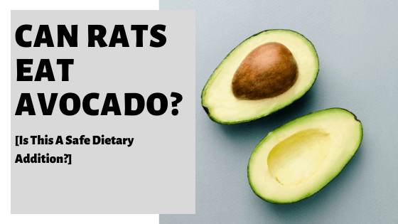 Can Rats Eat Avocado? [Is This A Safe Dietary Addition?]