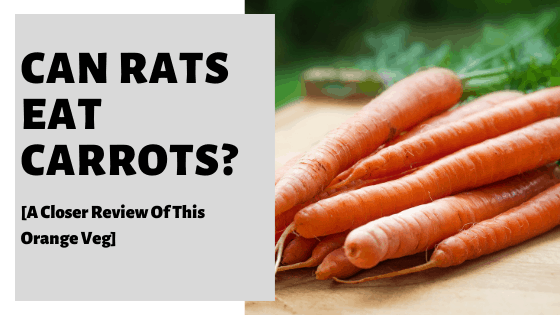 Can Rats Eat Carrots? [A Closer Review Of This Orange Veg]
