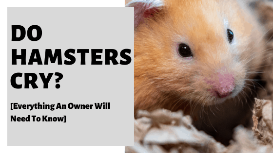 Do Hamsters Cry? [Everything An Owner Will Need To Know]