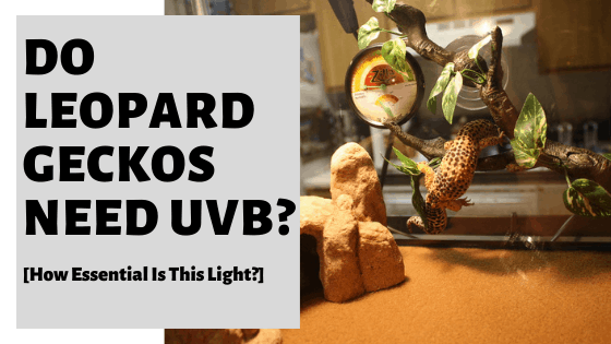 Do Leopard Geckos Need UVB? [How Essential Is This Light?]