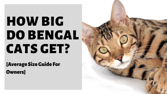 How Big Do Bengal Cats Get? [Average Size Guide For Owners]