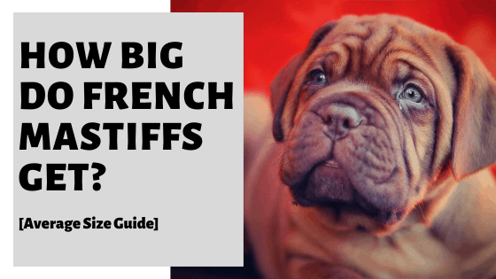 How Big Do French Mastiffs Get? [Average Size Guide]