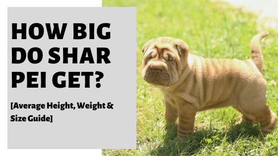 How Big Do Shar Pei Get? [Average Height, Weight & Size Guide]