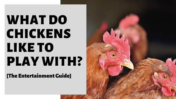 What Do Chickens Like To Play With? [The Entertainment Guide]