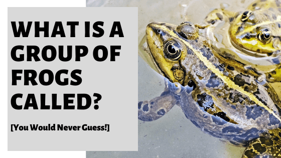 What Is A Group Of Frogs Called? [You Would Never Guess!]