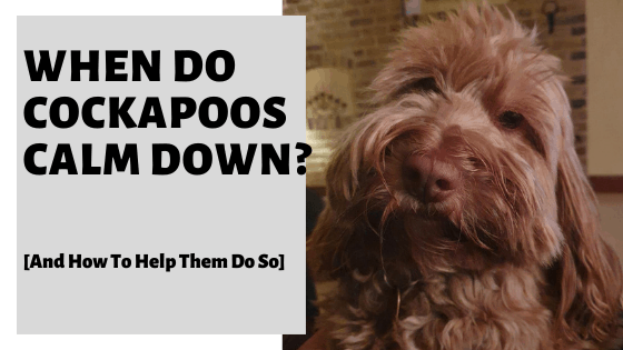 When Do Cockapoos Calm Down? [And How To Help Them Do So]
