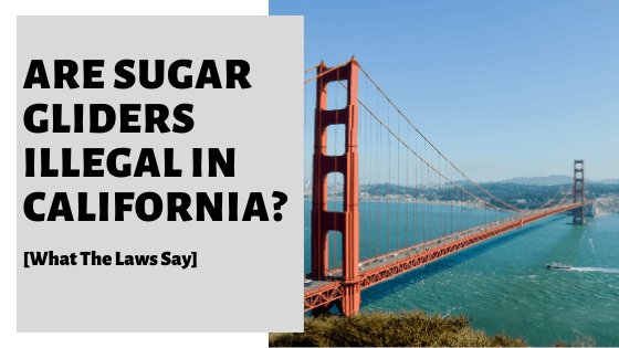 Are Sugar Gliders Illegal In California? [What The Law Says]