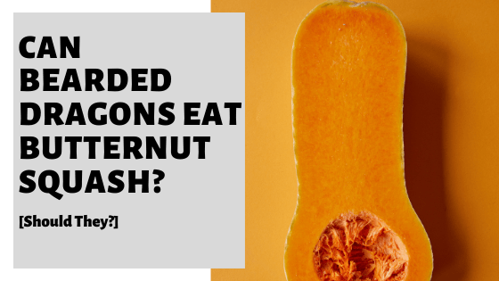 Can Bearded Dragons Eat Butternut Squash? [Should They?]