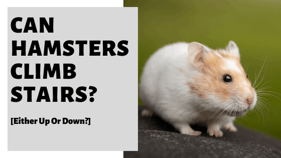 Can Hamsters Climb Stairs? [Either Up Or Down?]