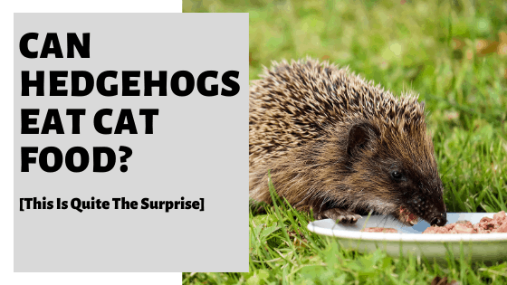Can Hedgehogs Eat Cat Food? [This Is Quite The Surprise]