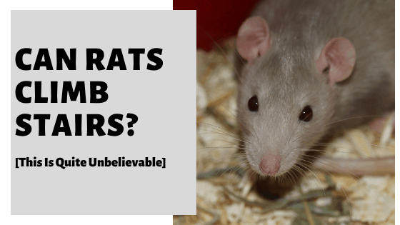 Can Rats Climb Stairs? [This Is Quite Unbelievable]