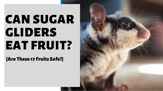 Can Sugar Gliders Eat Fruit? [Are These 17 Fruits Safe?]