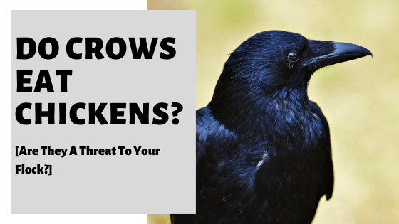 Do Crows Eat Chickens? [Are They A Threat To Your Flock?]