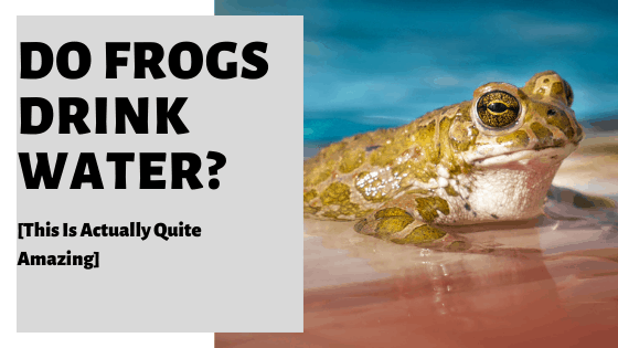 Do Frogs Drink Water? [This Is Actually Quite Amazing]