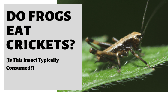 Do Frogs Eat Crickets? [Is This Insect Typically Consumed?]