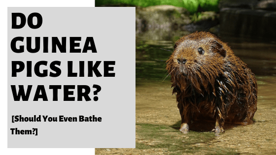 Do Guinea Pigs Like Water? [Should You Even Bathe Them?]