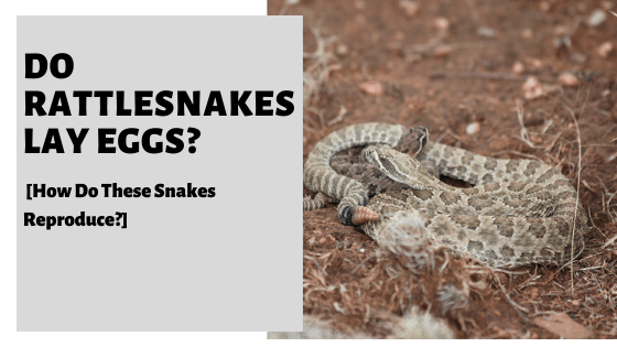 Do Rattlesnakes Lay Eggs? [How Do These Snakes Reproduce?]