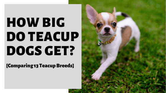 How Big Do Teacup Dogs Get? [Comparing 13 Teacup Breeds]