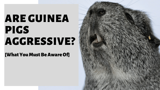 Are Guinea Pigs Aggressive? [What You Must Be Aware Of]