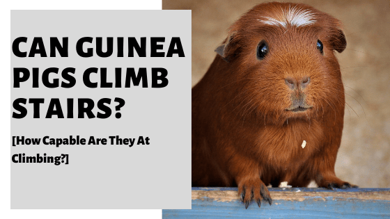 Can Guinea Pigs Climb Stairs? [How Capable Are They At Climbing?]