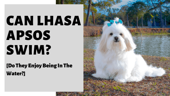 Can Lhasa Apsos Swim? [Do They Enjoy Being In The Water?]