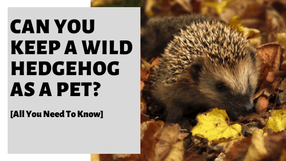 Can You Keep A Wild Hedgehog As A Pet? [All You Need To Know]