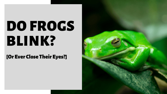 Do Frogs Blink? [Or Ever Close Their Eyes?]
